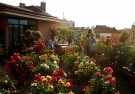 Балканы: цветение роз